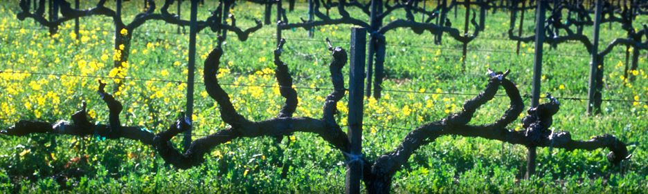 Old Vine Vineyard