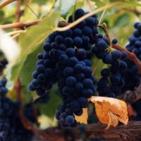 DES_grapes