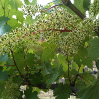 vines-youn